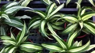 Dracena species