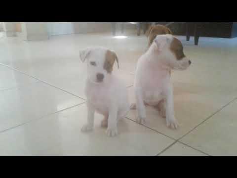 American Pitbull terrier 2 meses 3 hembras en Venta