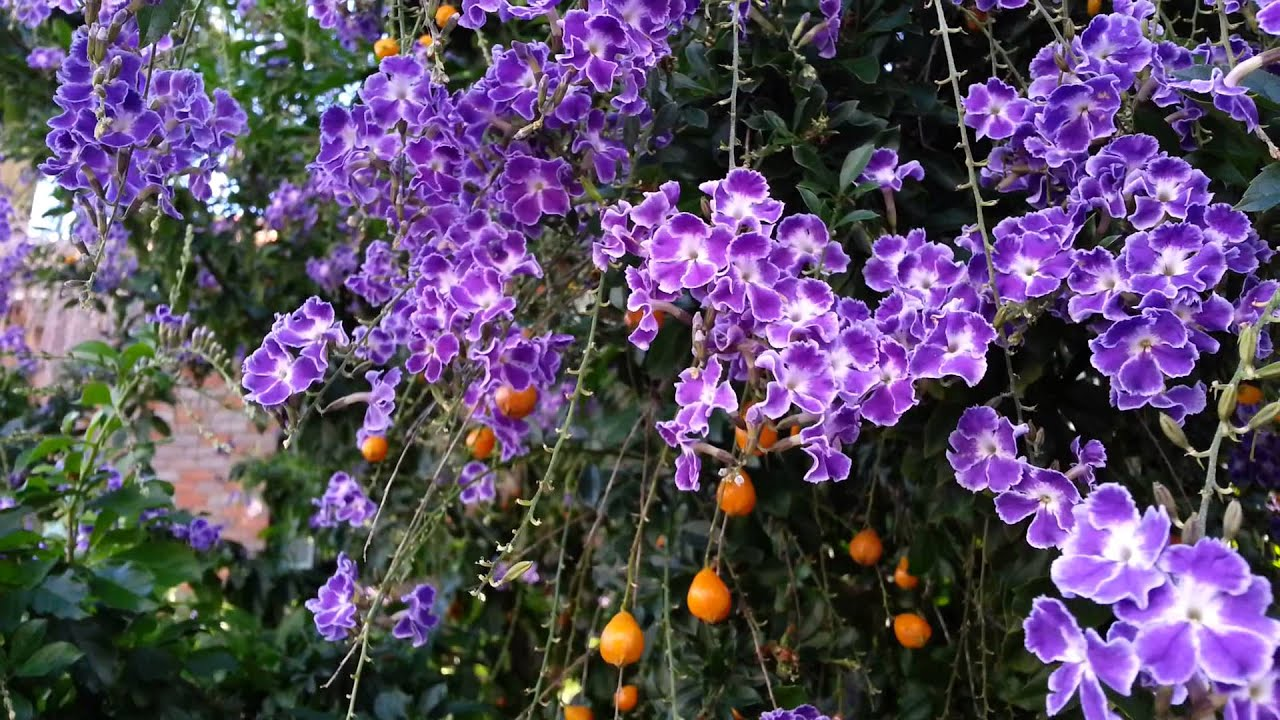 Duranta erecta blue purple flowers and orange berry geisha girl duranta erecta blue purple flowers and orange berry geisha girl goldy green hd 06 youtube izmirmasajfo