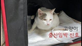 고양이 출산 임박 증상…