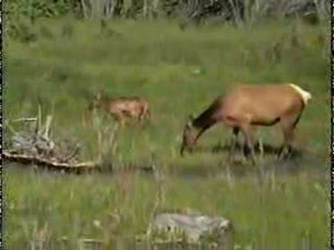 Mother elk and calves at Yellowstone
