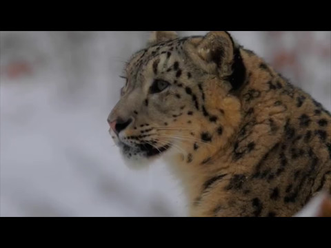 Detroit Zoo | Snow Leopard Conservation