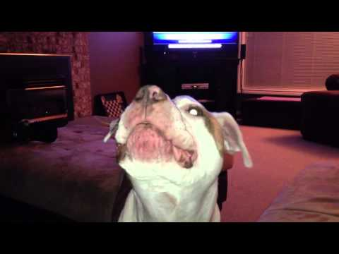 Dog sings with Adele