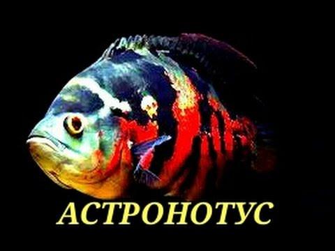 Аквариумные рыбки. Астронотус.