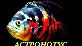 Аквариумные рыбки. Астронотус.(, 2016-06-28T20:18:06.000Z)