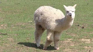 All About Alpaca Shearing and Fiber