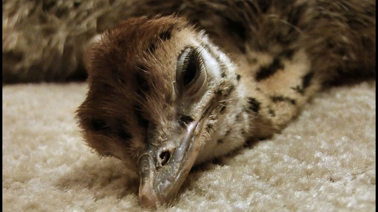 Cute Babies Pics Wallpaper Images Baby Ostrich Slowly Falls Asleep So Cute Youtube
