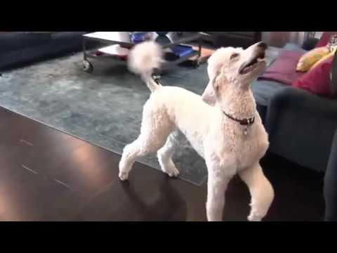 Blues Poodles:  Advanced Dog Tricks