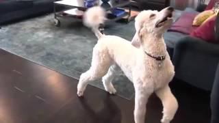 Blues Poodles:  Advanced Dog Tricks