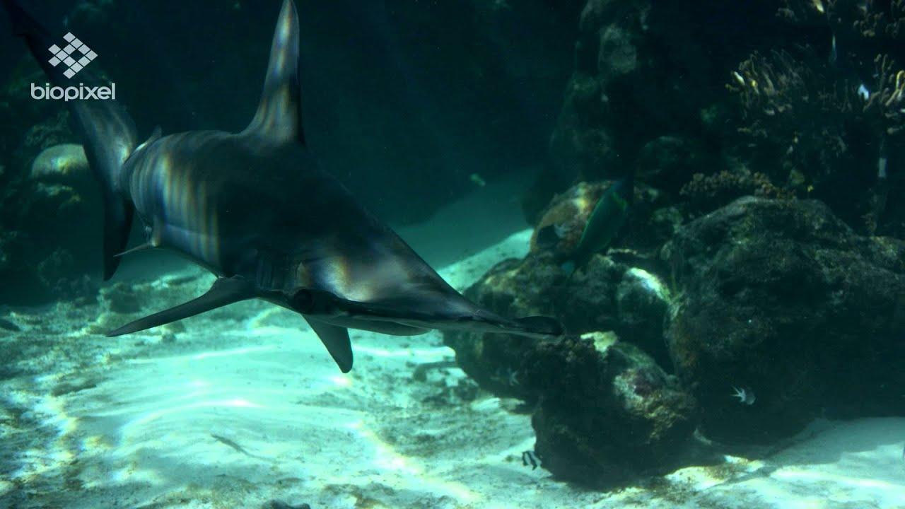 Reef hq aquarium scalloped hammerhead shark youtube for Shark tank fairy door