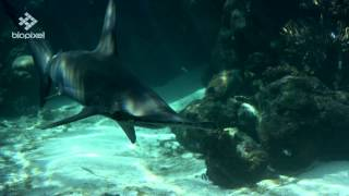 Reef HQ Aquarium - Scalloped Hammerhead Shark