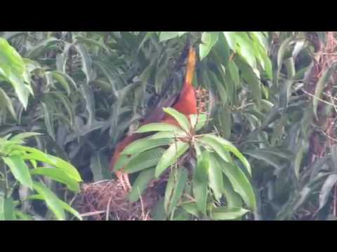 Oropendola call: EcoAmazonia, Peru