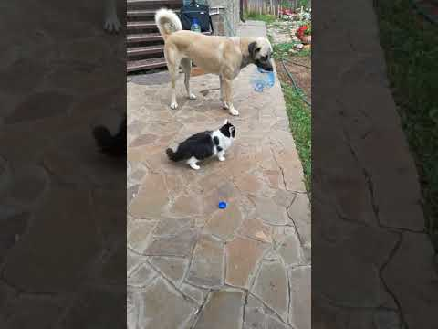ANATOLIAN SHEPHERD DOG Анатолийская овчарка