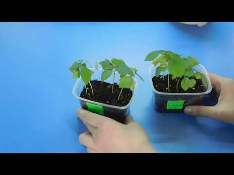 Вопрос: Как выращивать болотный гибискус?