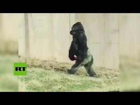 Un gorila deja atónito a los turistas al 'evolucionar' frente a sus ojos