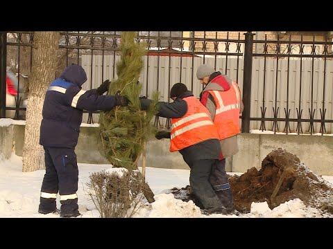 В Волгограде территорию спорткомплекса «Зенит» украсили крымские сосны