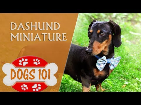 Dogs 101 - MINIATURE DACHSHUND - Top Dog Facts About the MINIATURE DACHSHUND