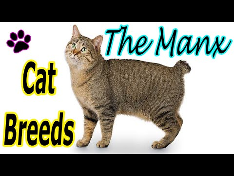 CAT BREEDS (The MANX) Identify Top 10 Longest Living Cats & Kittens info