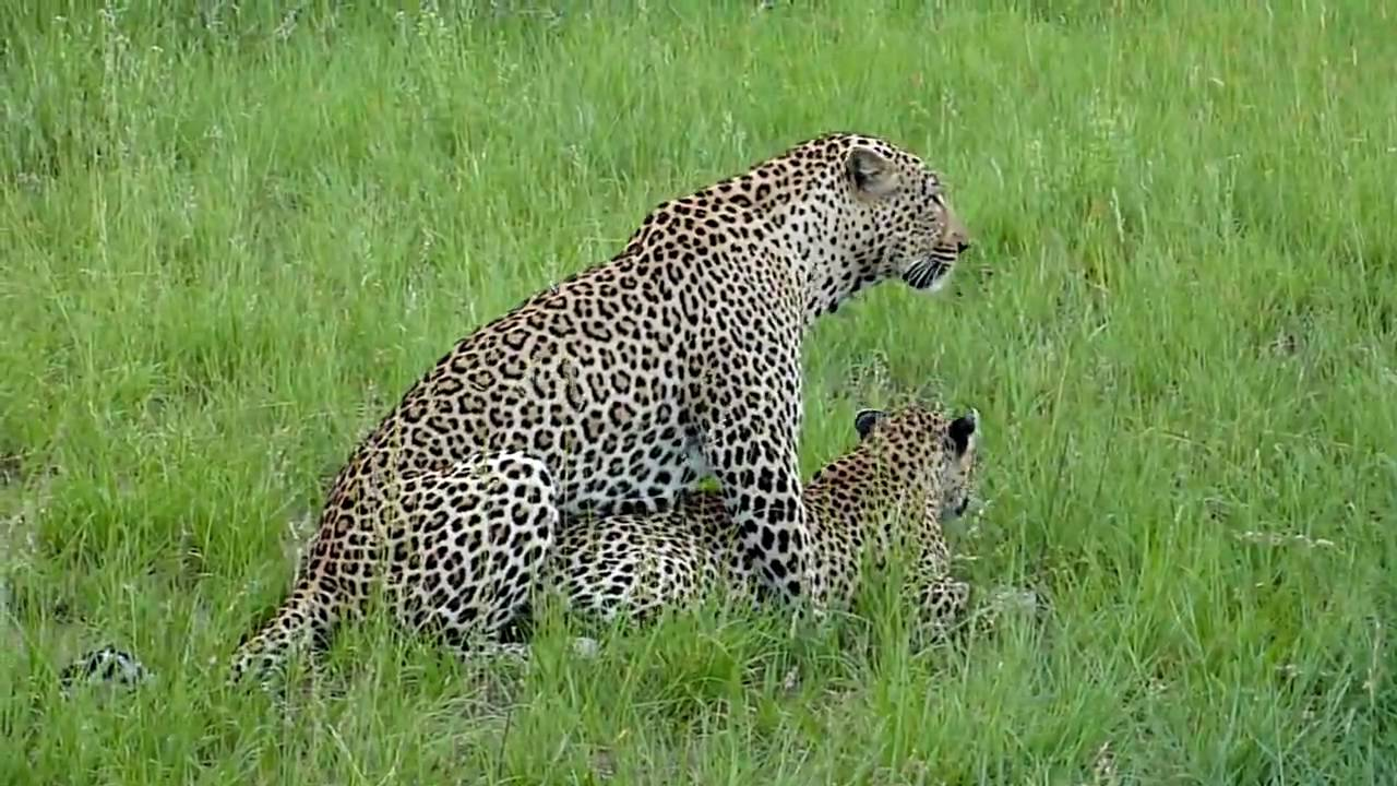 Leopards mating - YouT...
