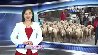 清境農場慶祝58週年場慶,最受歡迎的重頭戲奔羊節登場,108隻綿羊,在台...