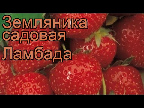 Земляника садовая Ламбада (fragaria ananassa) �� Ламбада обзор: как сажать, рассада земляники Ламбада
