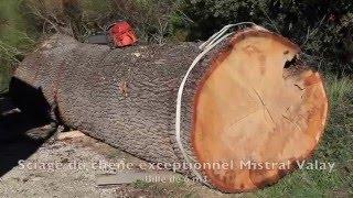 Sciage d'un chêne exceptionnel