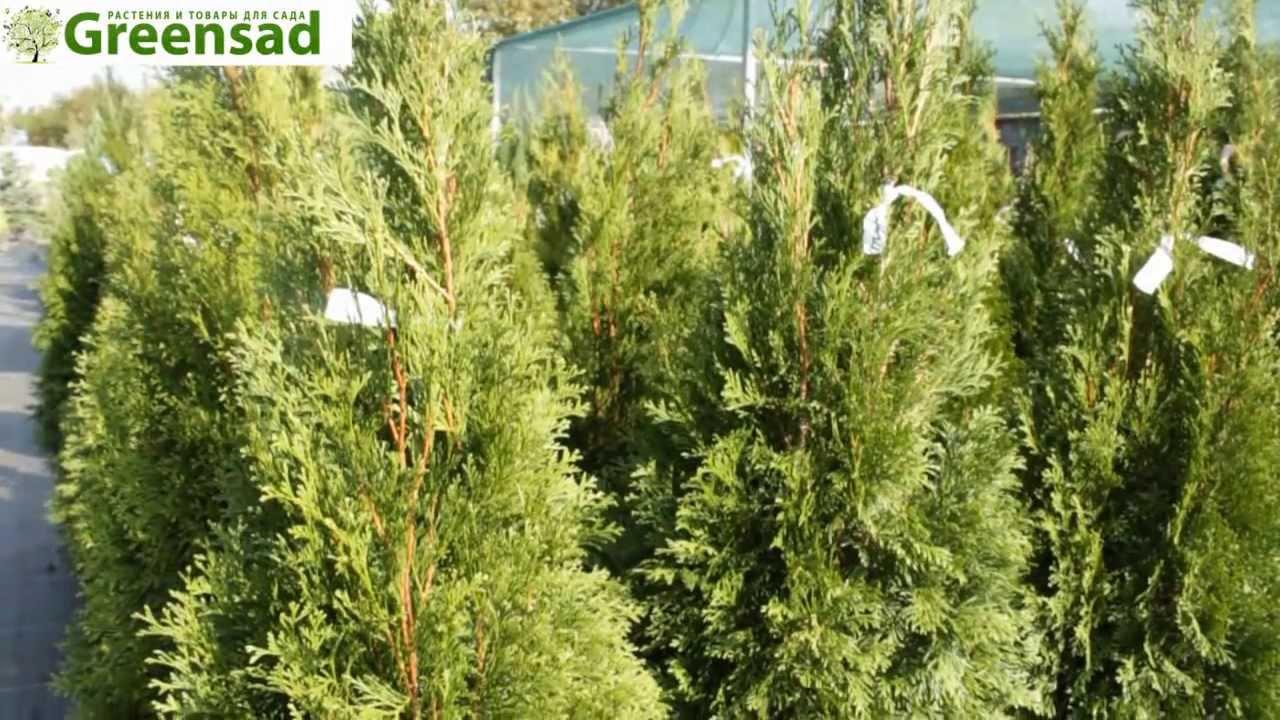 Популярное хвойное растение, которое идеально подходит для выращивания в украине. Туя покорила сердца садоводов своей декоративностью,