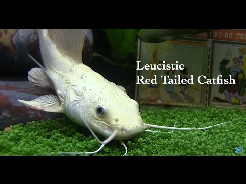 Fincasters Episode 69 Leucistic Redtailed Catfish