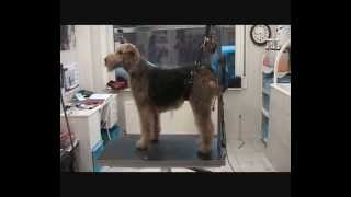 Trimming Airedale Terrier