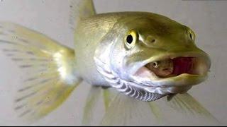Ciklet Balığı Kusturma  /  Mavi Prenses Yavru Kusturması - Chewing Gum Fish  Bir