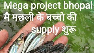 MEGA PROJECT 01 BHOPAL ME मछली के बच्चो की SUPPLY शुरू हो चुकी है।
