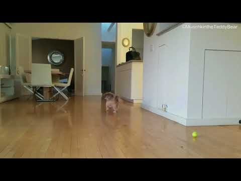 Dog slides on harwood floors playing fetch