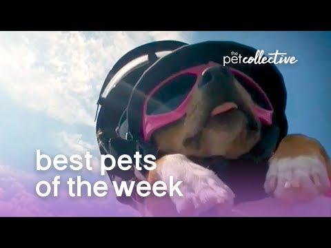 Best Pets of the Week - DARING DOGGO | The Pet Collective
