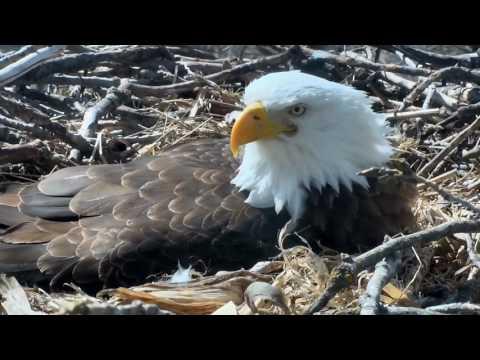 Decorah Eagles,Shift Change,Beak Bling&Fiddling With Corn Stalk&Husk