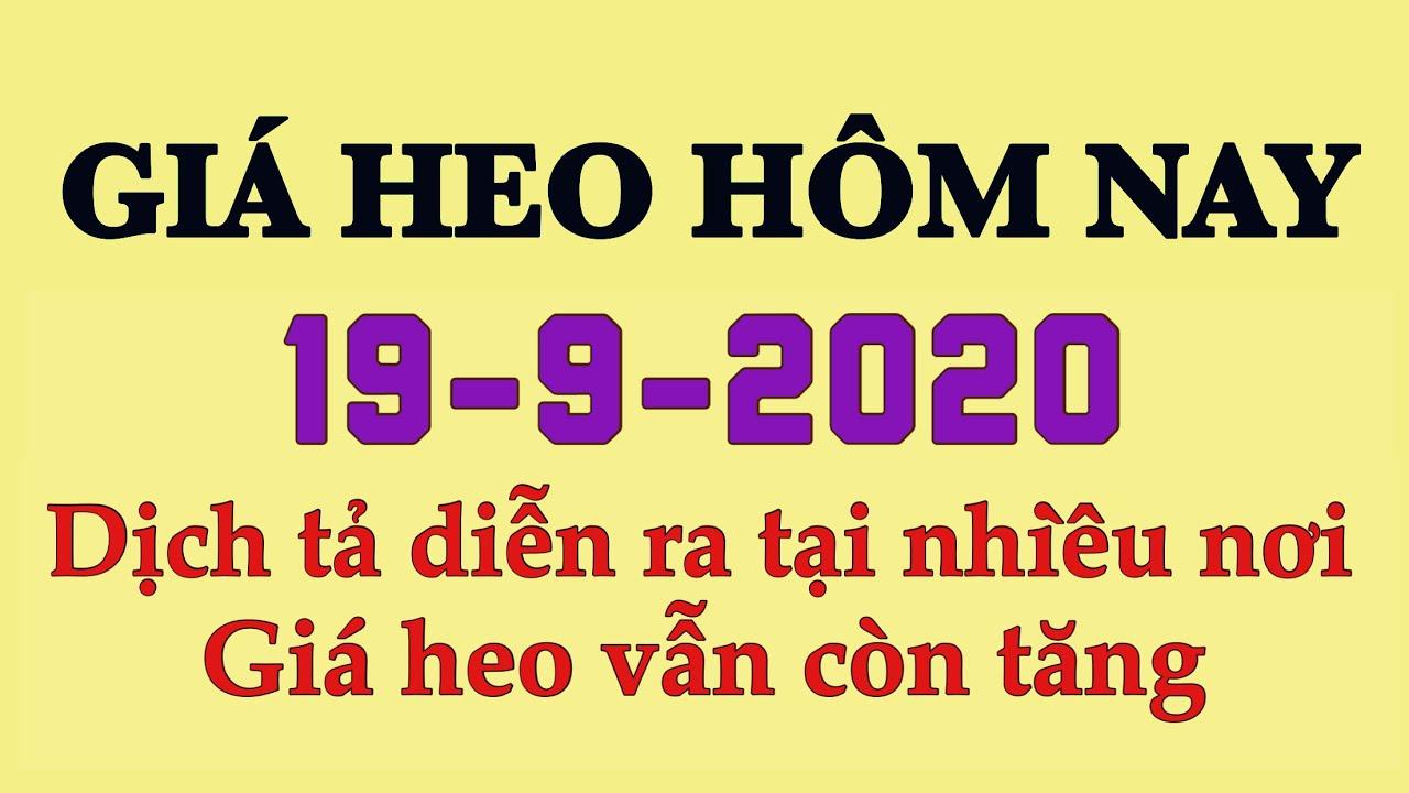 Giá heo hơi hôm nay 19/9/2020 || Giá vẫn tăng, dịch tả lợn châu Phi đang diễn ra ở nhiều nơi