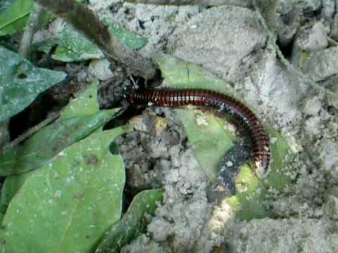 Millipede in Cameroonian forest