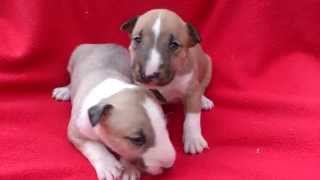 Venta De Cachorros Bullterrier - Criadero Mini Cachorros