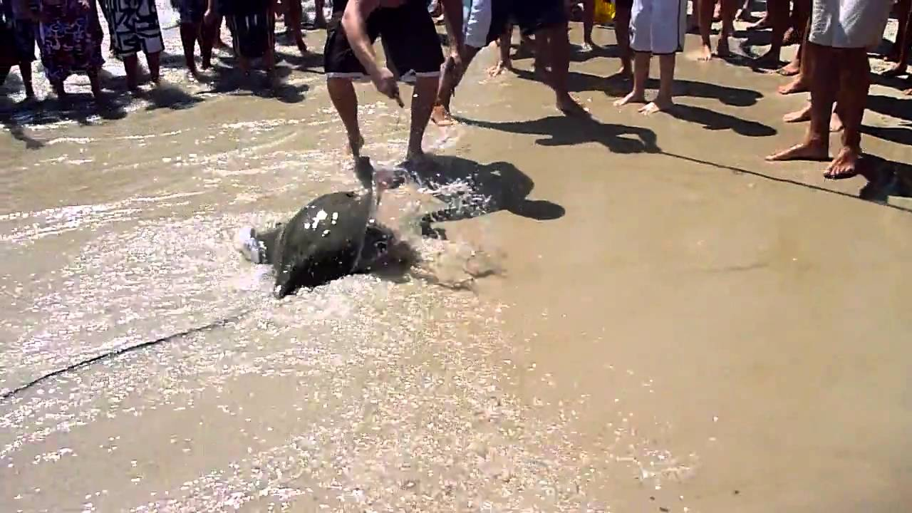 Sting Ray Caught On Kismet Beach Fire Island New York