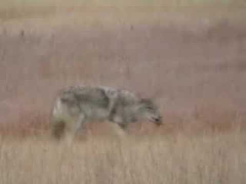 Coyote (tiny) Kill Yellowstone