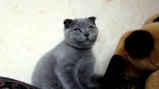 Вислоухая кошка Ксюша.
