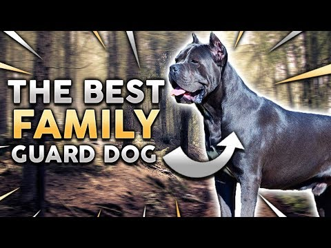 CANE CORSO! The Best Family Guard Dog!