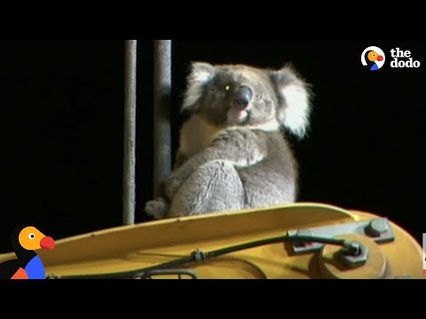 Koala Rescued from 100 ft Drilling Rig | The Dodo