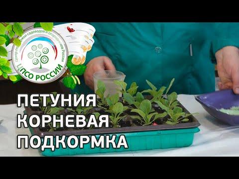 Выращивание петунии. Корневая подкормка рассады петунии.