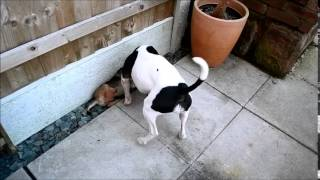 Staffordshire Bull Terrier Fighting With Border Terrier Puppy