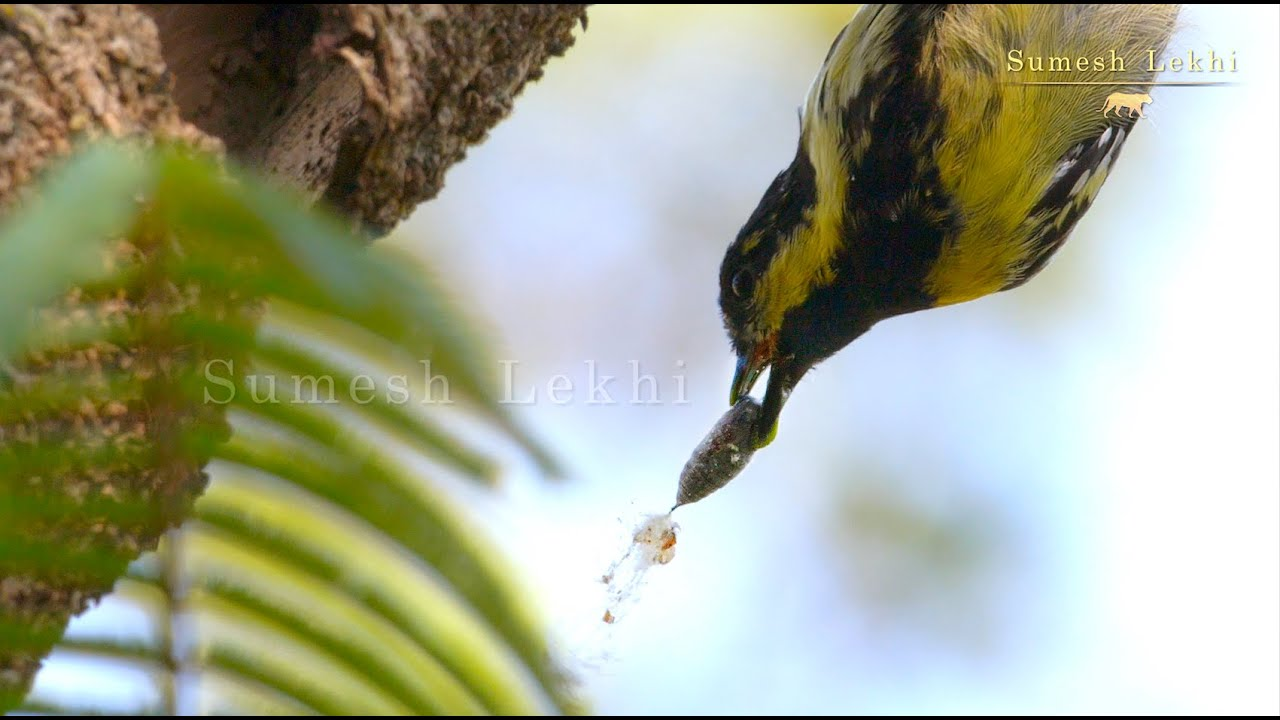 A Lovely Wildlife Moment with a Bird, the Indian Tit.