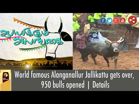 World famous Alanganallur Jallikattu gets over, 950 bulls opened   Details