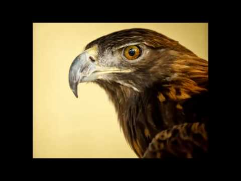 Golden Eagle Cry