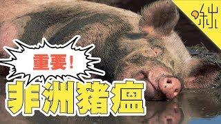 【非洲豬瘟】如果登陸台灣會有什麼後果? 防疫需要你我共同努力!   啾來聊聊 第57集   啾啾鞋