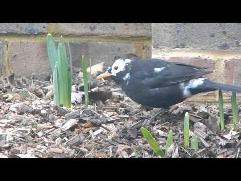 Leucistic Blackbird (2)