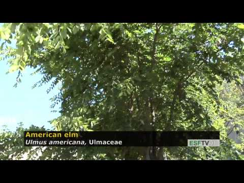 Trees with Don Leopold - American elm
